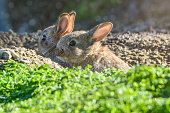 Mother and baby cotton tail bunnies in the wild