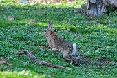 Wild rabbit hopping away