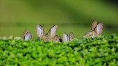 Family of cotton tail bunnies hiding in the clover
