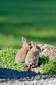 Young wild rabbits close up enjoying the sunshine
