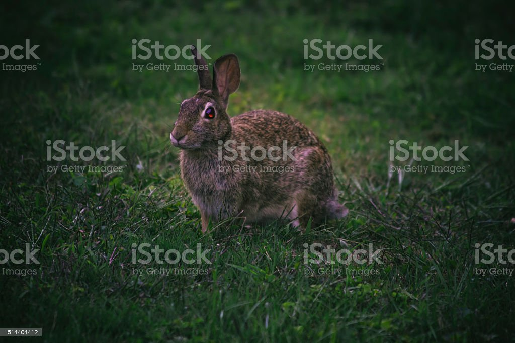 Wild Cottontail Rabbit Sitting In The Grass At Dusk Stock