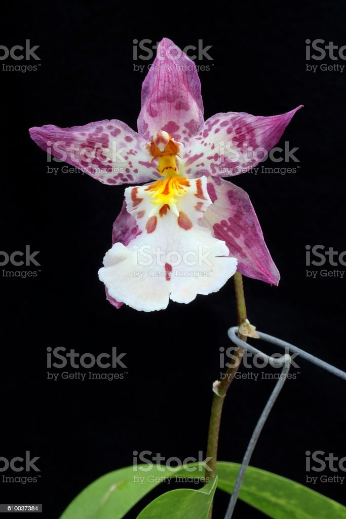Wild Court Orchid stock photo
