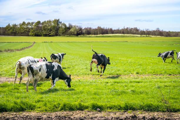 Wild cows enjoy their first time on green grass stock photo