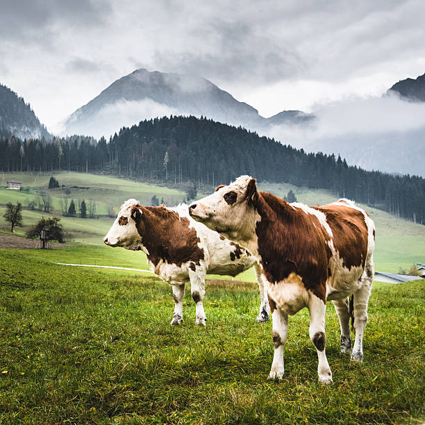 wild cows in the alps for the pasture – Foto