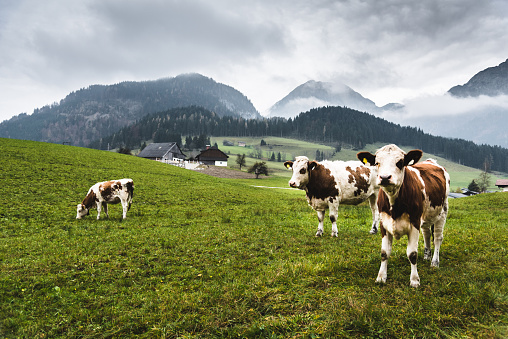 wild cows in the alps for the pasture