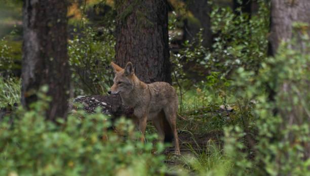 Wild Coyote in the Breathtakingly Beautiful Scenery of Banff National Park, Alberta, Canada stock photo