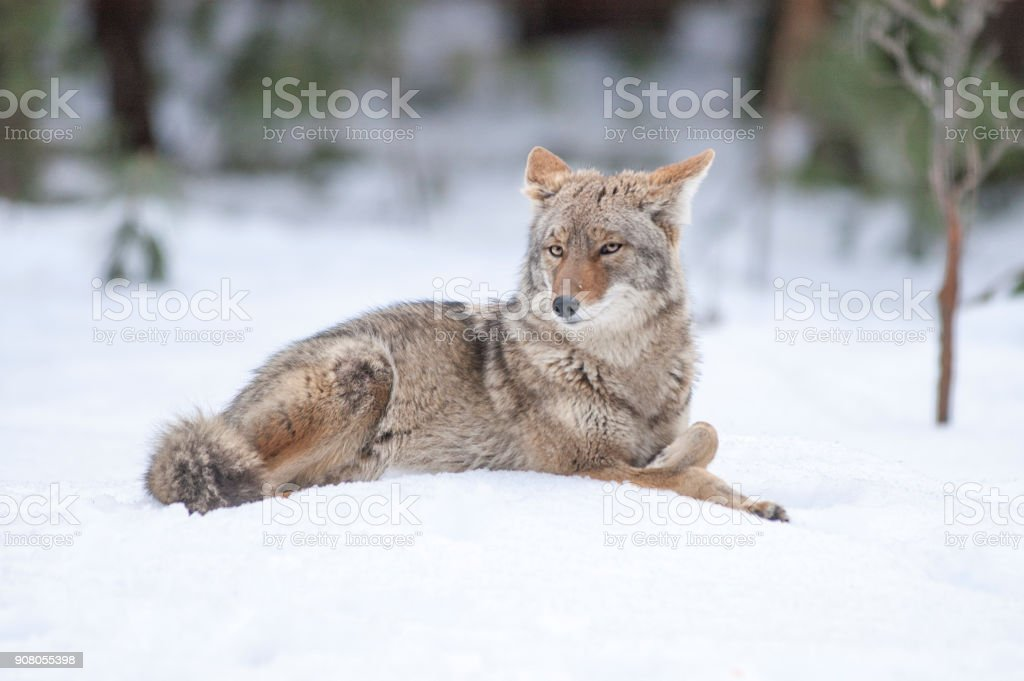 Wild Coyote Lying in Snow stock photo