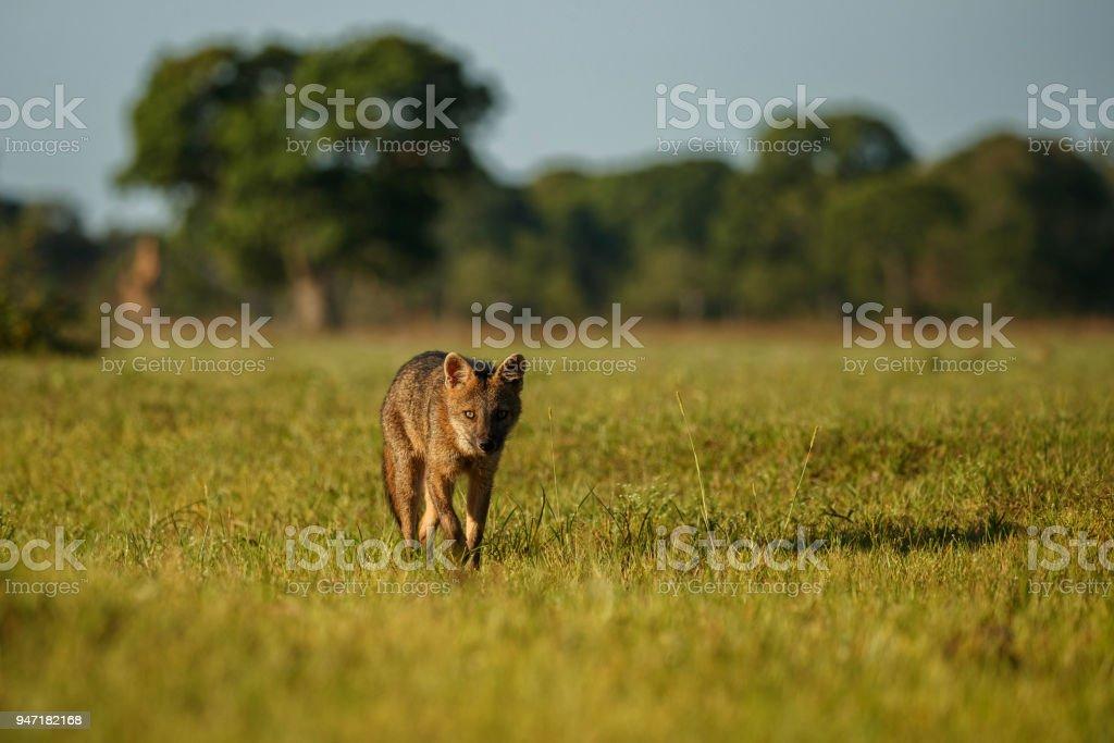 Wild crab eating fox or maikong in brazilian pantanal stock photo