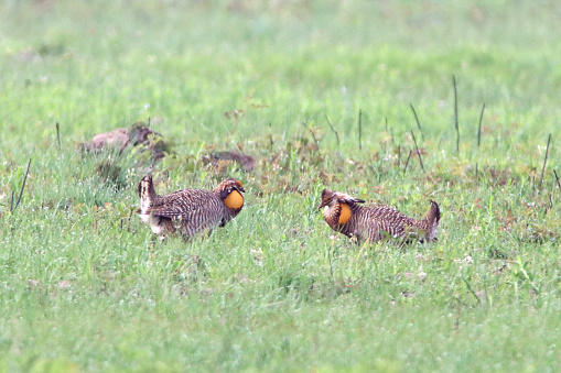 Critically endangered, a pair of Attwater's Greater Prairie Chickens face off in a mating display at the Attwater Prairie Chicken National Wildlife Refuge near Eagle Lake, Texas.
