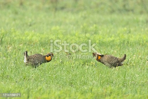 Critically endangered, a pair of Attwater Prairie Chickens face off in a mating display at the Attwater Prairie Chicken National Wildlife Refuge near Eagle Lake, Texas.