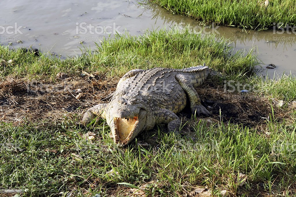 Wild crocodile, Africa royalty-free stock photo