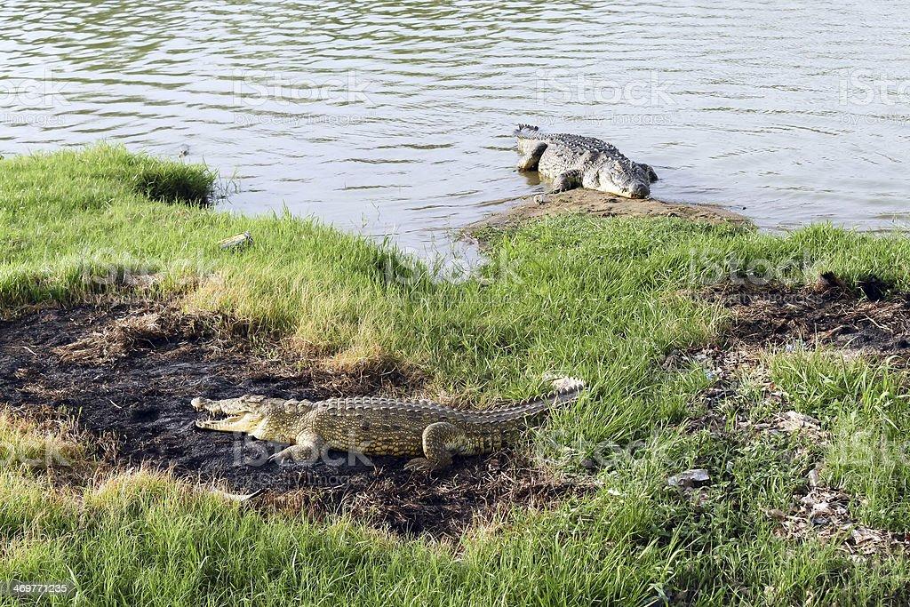 Wild crocodile, Africa royalty-free stock photo