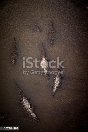 wild crocodiles resting in the river, costa rica, central america.