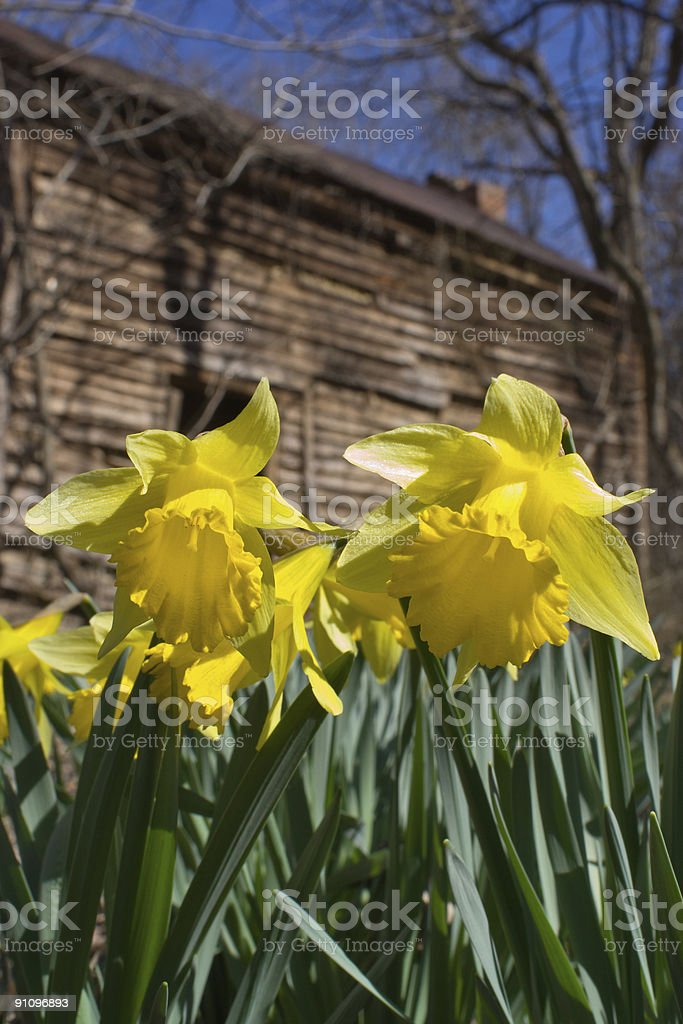 Wild Daffodil flowers in the woods royalty-free stock photo