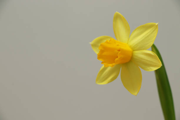 wild daffodil / Lent lily stock photo