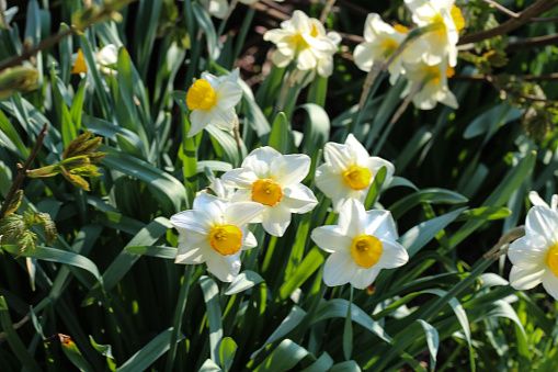 Wild daffodil or Lent lily (Narcissus pseudonarcissus)