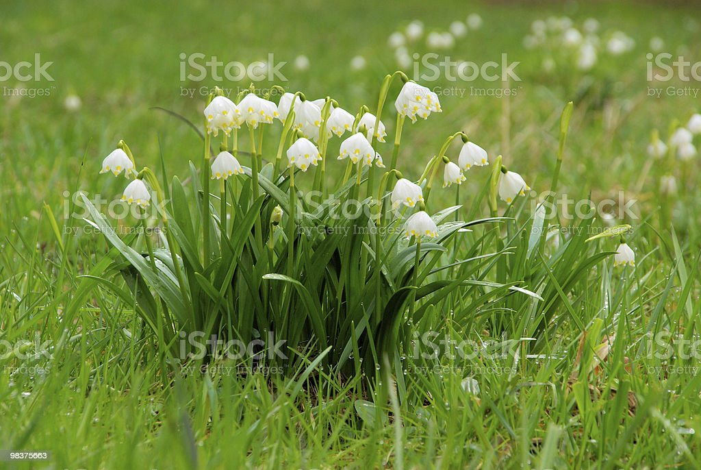 wild daffodil royalty-free stock photo