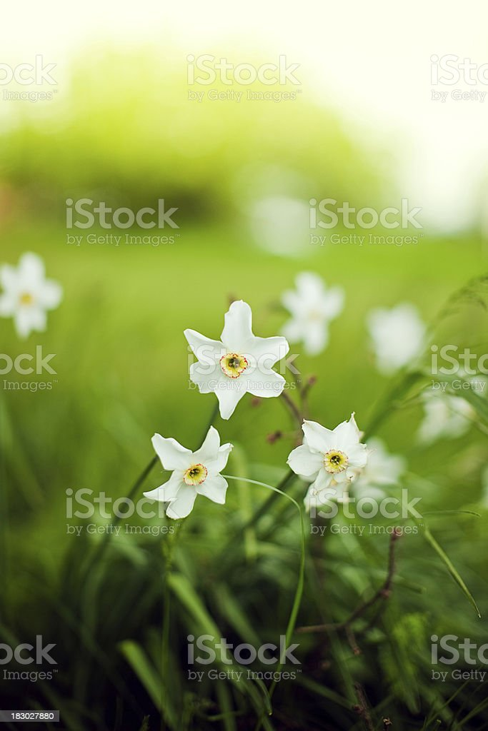 Wild Daffodils and Sunlight stock photo