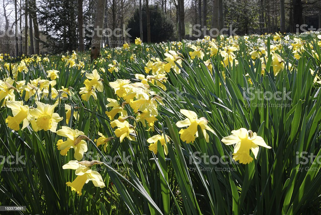 Wild daffodils in English woodland royalty-free stock photo