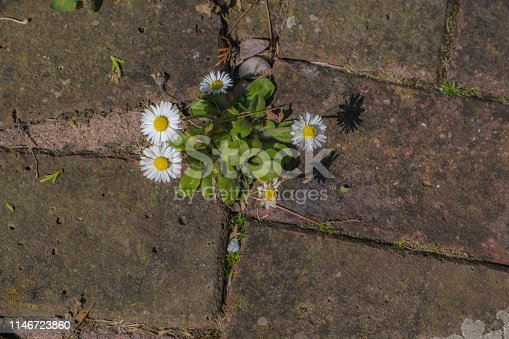 Wild daisies and green grass growing between the brick stones in garden.