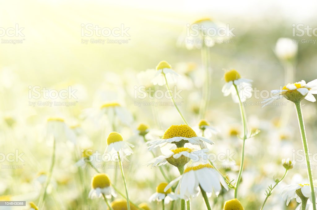Wild daisies growing in a meadow stock photo