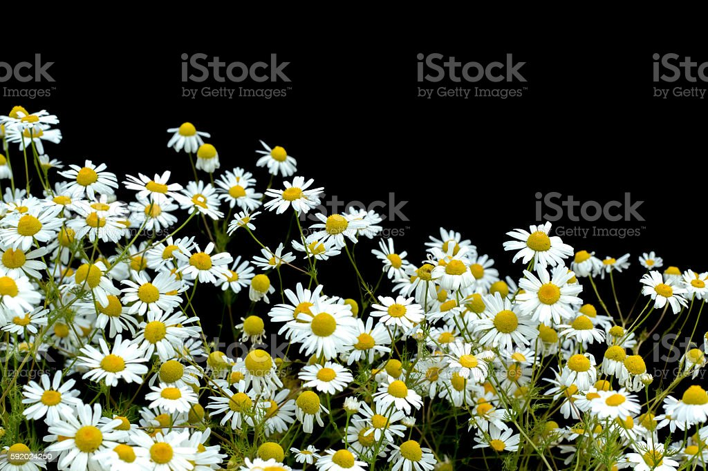 Wild daisies on a black background стоковое фото