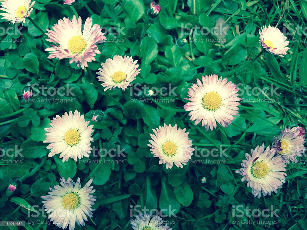 Wild Daisies Wild pink Daisies in the afternoon  2015 Stock Photo