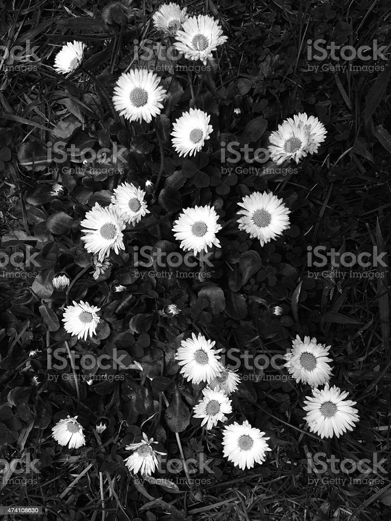 Wild Daisies Wild Daisies in the afternoon, taken with iPhone 2015 Stock Photo