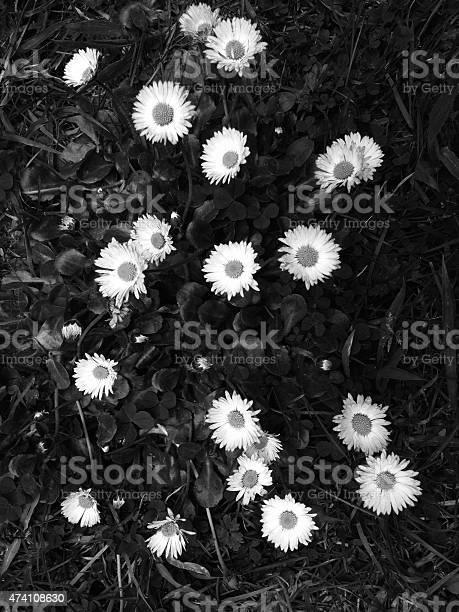 Wild Daisies Stock Photo - Download Image Now