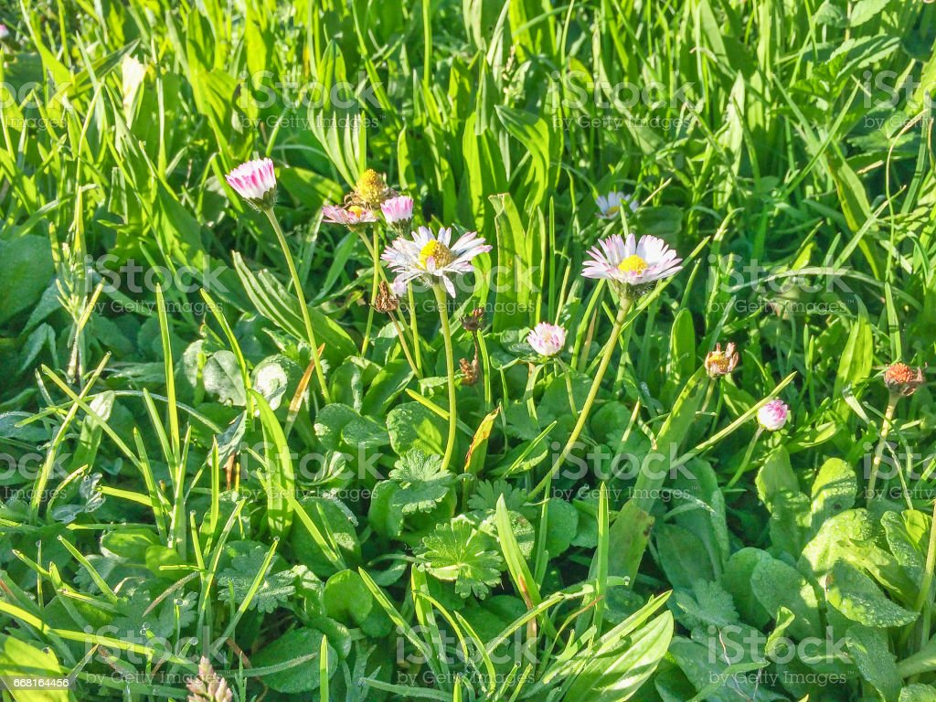 Wild daisy flower on the grass background royalty-free stock photo