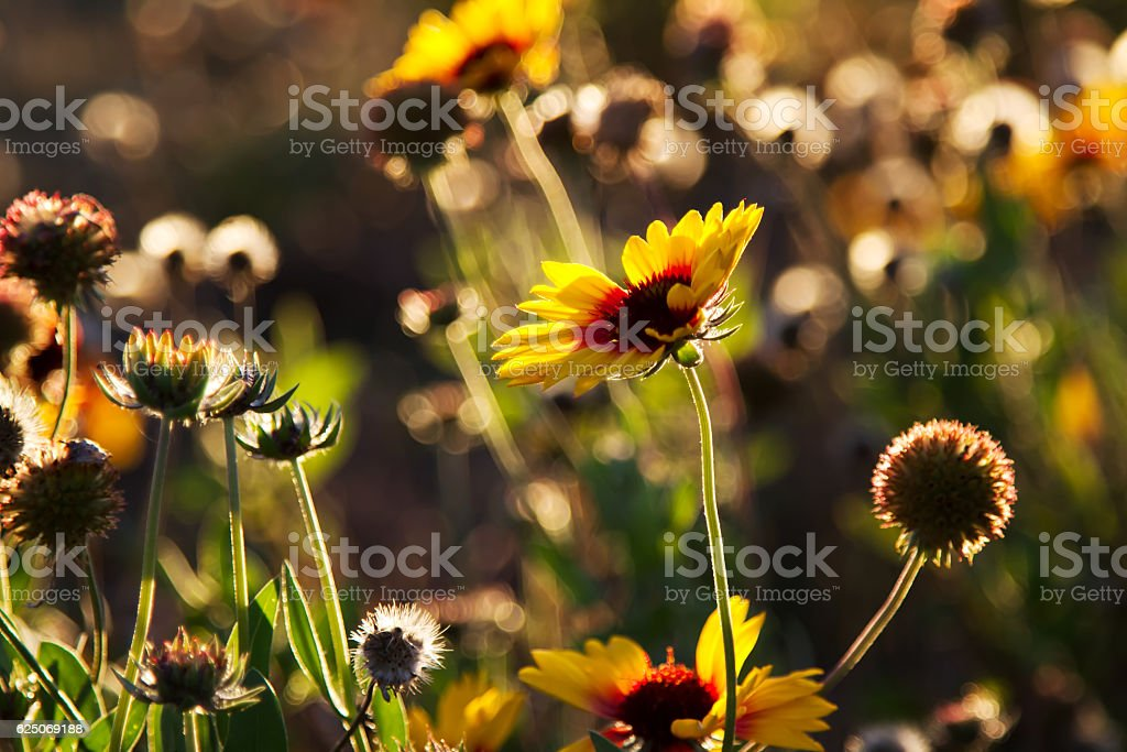 wild daisy flowers against sunset light stock photo