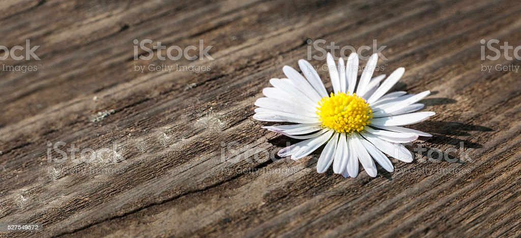 Wild daisy over wooden weathered background stock photo