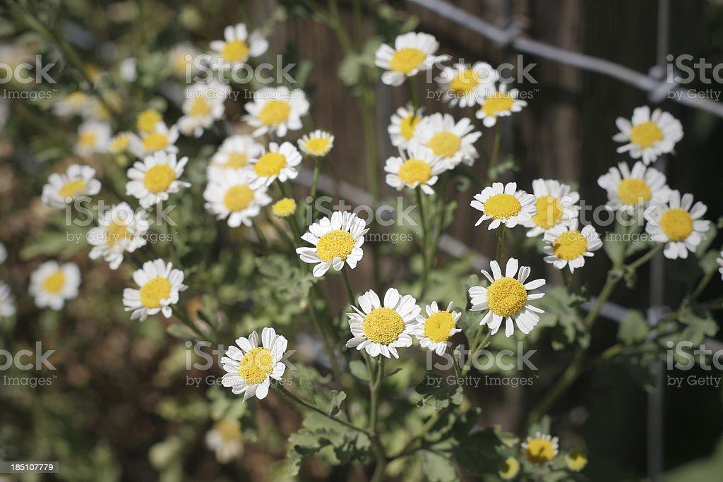 wild Daisy stock photo