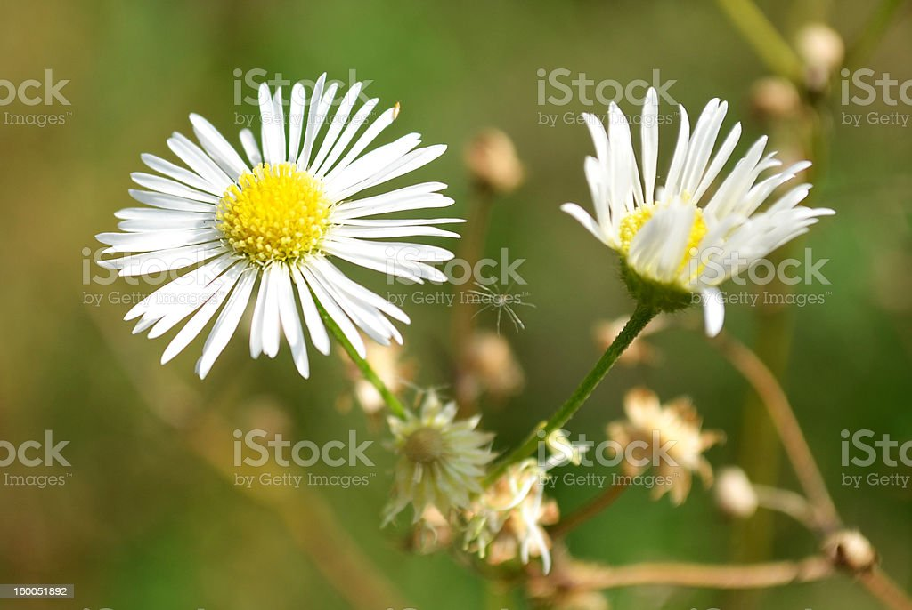 Wild Daisy Weed White Yellow Flower With Spider Stock Photo & More ...