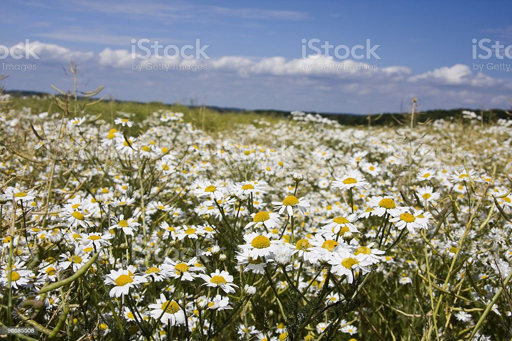 Wild daisys royalty-free stock photo