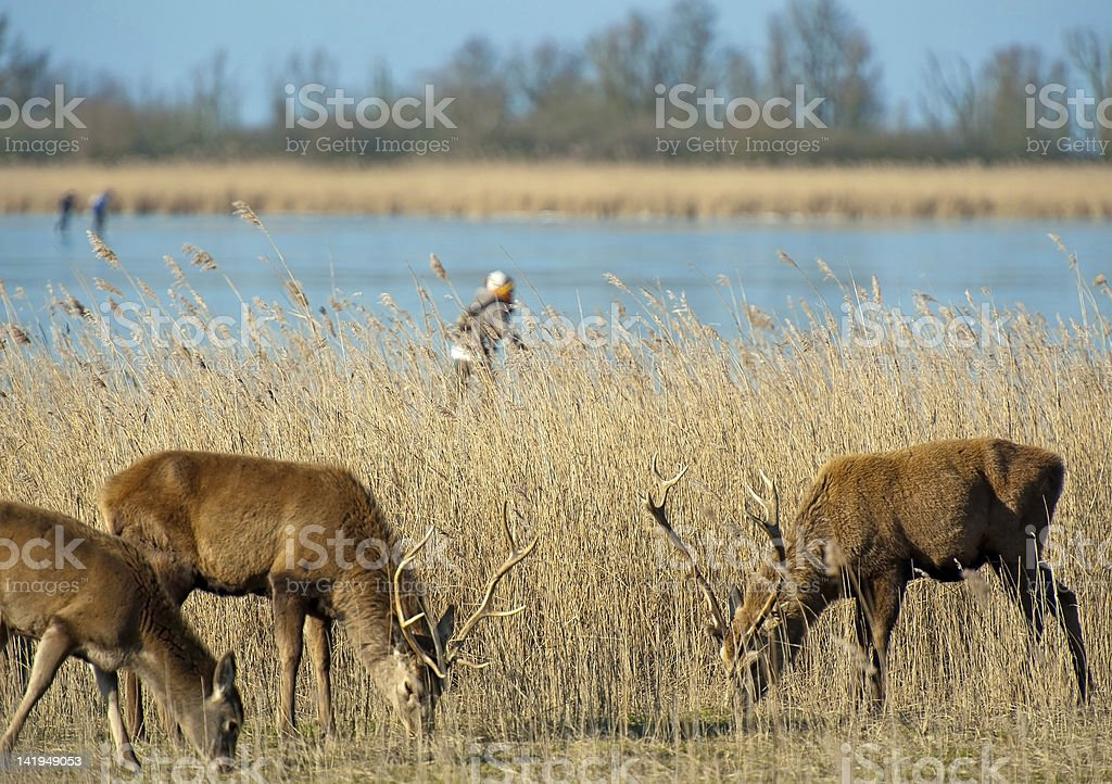 Wild deer and an ice skater on a frozen lake stock photo