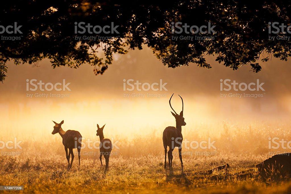 Wild deer at dawn stock photo