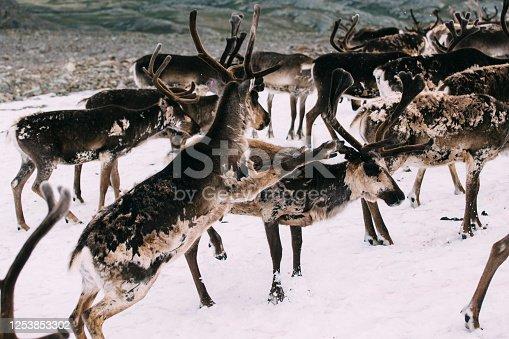 465666157 istock photo Wild deer fighting in motion 1253853302