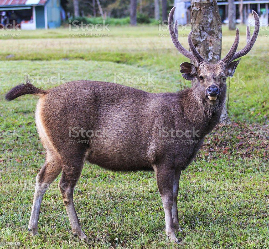 Wild deer in Phu Kradueng National Park Asia Thailand stock photo