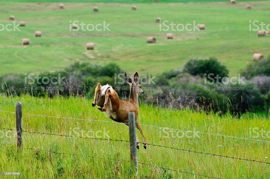 Wild Deer Jumping royalty-free stock photo