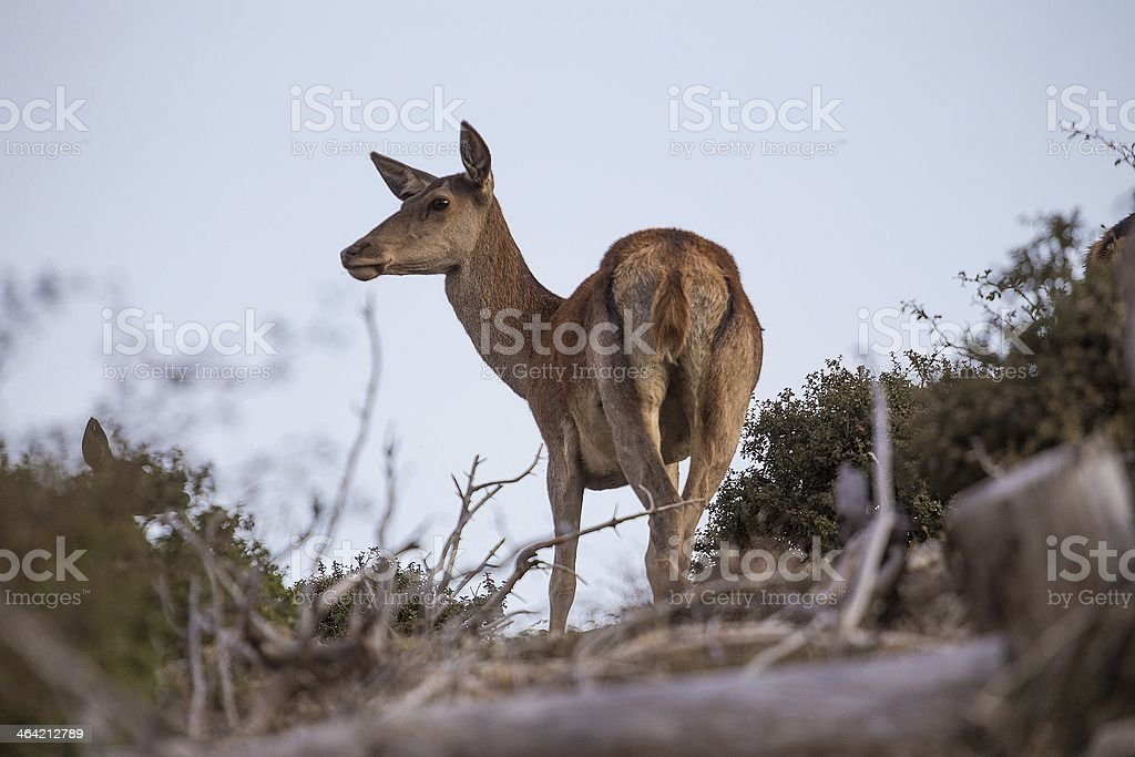 Wild deer on the mountain royalty-free stock photo