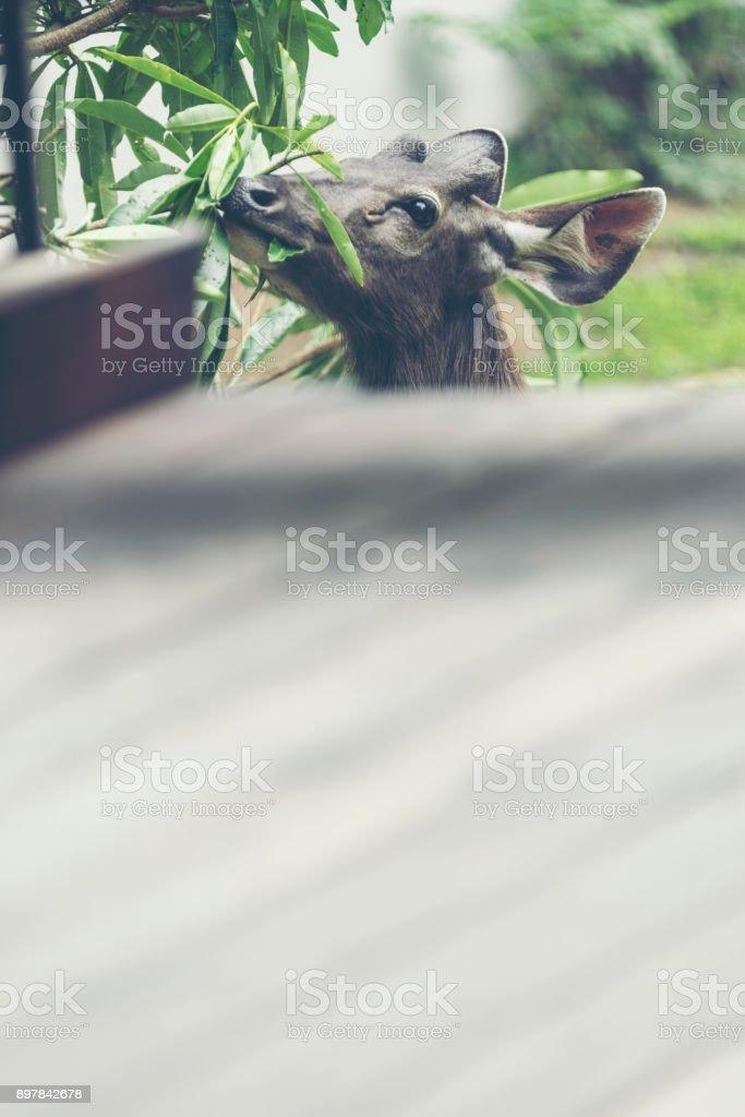 Wild deer, Sambar deer, Rusa unicolor, Cervus unicolor stock photo