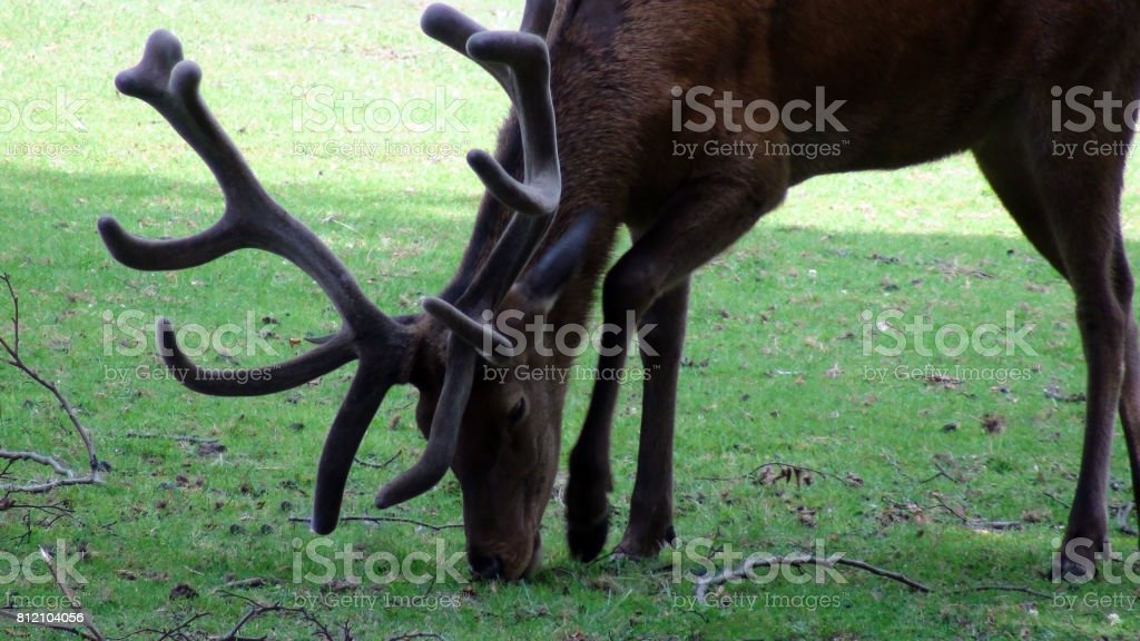 Wild Deer With Horns Eating Green Grass On The Field stock photo
