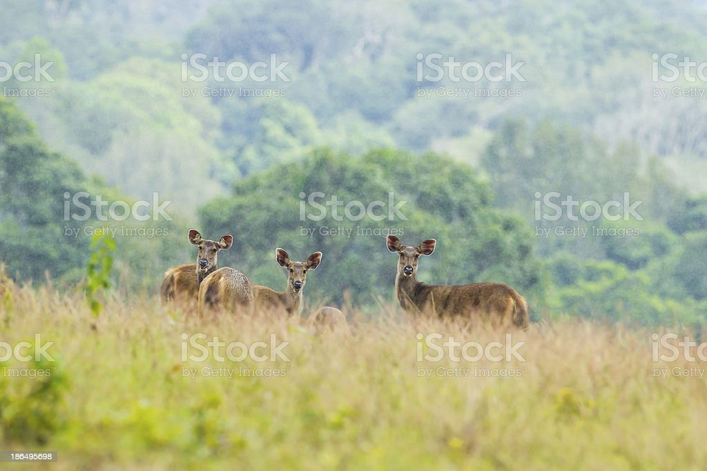 Wild deers royalty-free stock photo