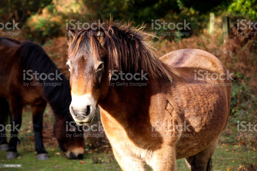 Wild Devon Horse stock photo
