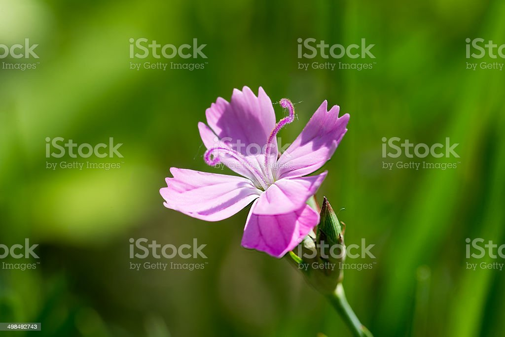 Wild Dianthus Armeria stock photo