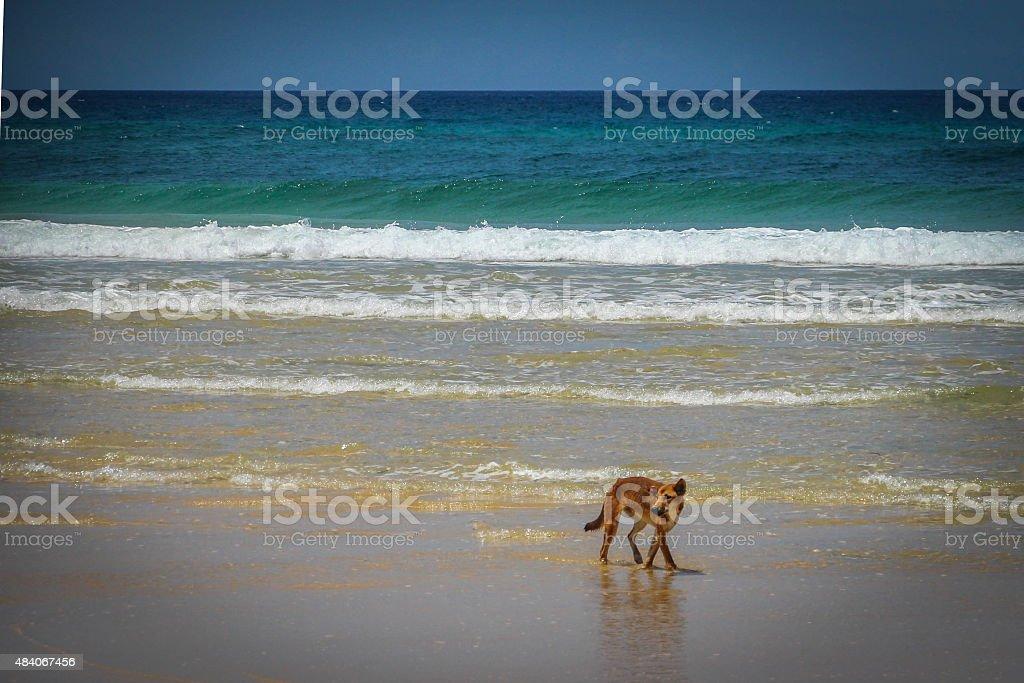 Wild Dingo am Strand auf der Insel Fraser Island – Foto