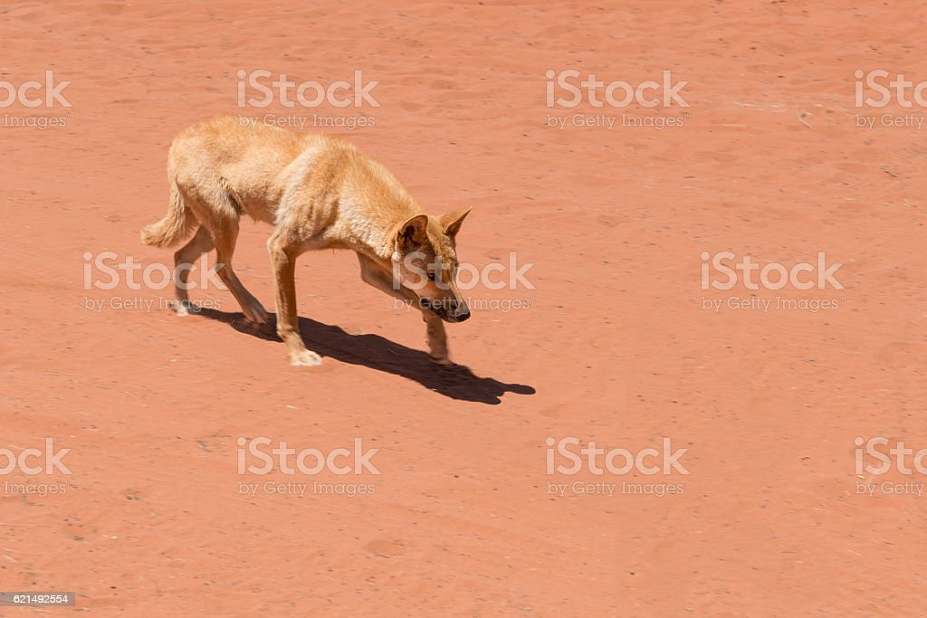 Wild dingo creeping / stalking in Red Centre Australia photo libre de droits