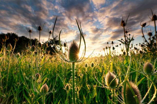 Wild Dipsacus, Teasel wilde bloemen bij zonsopgang in de zomer foto