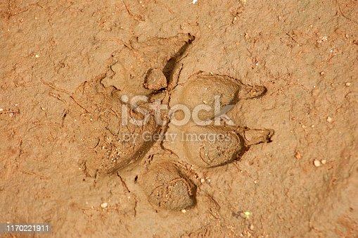 Footprint of Wild dog (Cuon alpines), Tamil Nadu, South India